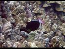 Pinktail Durgon - Triggerfish<br>(<i>Melichthys vidua</i>)