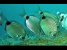 Spottail Pinfish - Porgy<br>(<i>Diplodus holbrookii</i>)