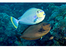 Bignose Unicornfish - Surgeonfish<br>(<i>Naso vlamingii</i>)