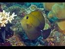 Brushtail Tang - Surgeonfish<br>(<i>Zebrasoma scopas</i>)