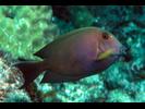 Lined Bristletooth - Surgeonfish<br>(<i>Ctenochaetus striatus</i>)