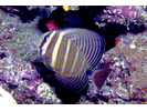 Pacific Sailfin Tang - Surgeonfish<br>(<i>Zebrasoma velifer</i>)