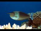 Paletail (pka Spotted) Unicornfish - Surgeonfish<br>(<i>Naso brevirostris</i>)