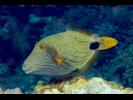 Orange-lined Triggerfish - Triggerfish<br>(<i>Balistapus undulatus</i>)