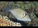 Scythe Triggerfish - Triggerfish<br>(<i>Sufflamen bursa</i>)