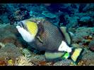 Titan Triggerfish - Triggerfish<br>(<i>Balistoides viridescens</i>)
