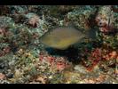 Orangeside Triggerfish - Triggerfish<br>(<i>Sufflamen verres</i>)