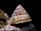 Wavy Turban Snail - Mollusks<br>(<i>Lithopoma undosum</i>)