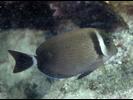 Whitebar Surgeonfish - Surgeonfish<br>(<i>Acanthurus leucopareius</i>)