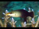 Bird (Pacific) Wrasse - Wrasse<br>(<i>Gomphosus varius</i>)