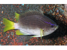 Yellowtail Reeffish - Damselfish<br>(<i>Chromis enchrysura</i>)