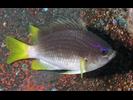 Yellowtail Reeffish - Damselfish (<i>Chromis enchrysura</i>)