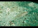 Redlight Goby - Goby - Gobio<br>(<i>Coryphopterus urospilus</i>)