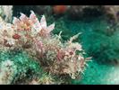 Stone Scorpionfish - Scorpionfish - Escorpiones<br>(<i>Scorpaena mystes</i>)