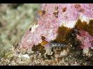 Redhead Goby - Goby - Gobio<br>(<i>Tigrigobius puncticulatus</i>)