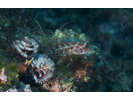Browncheek Blenny - Blenny - Pike / Tube / Flag<br>(<i>Acanthemblemaria crockeri</i>)