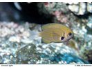 Pacific (Agile) Chromis - Damselfish<br>(<i>Chromis pacifica</i>)