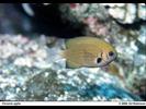 Pacific (Agile) Chromis - Damselfish<br>(<i>Chromis pacifica</i>)