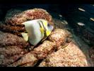 Cortez Angelfish - Angelfish - Ángel<br>(<i>Pomacanthus zonipectus</i>)