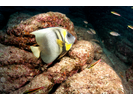 Cortez Angelfish - Angelfish - Ángel<br>(<i>Pomacanthus zonipectus</i>)