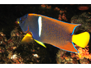 King Angelfish - Angelfish - Ángel<br>(<i>Holacanthus passer</i>)