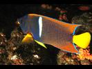 King Angelfish - Angelfish - Ángel<br>(<i>Holacanthus passer</i>)