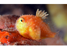 Atlantic Spiny Lumpsucker - Lumpfish & Snailfish (<i>Eumicrotremus spinosus</i>)