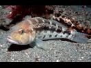 Bank Sea Bass - Seabass<br>(<i>Centropristis ocyurus</i>)
