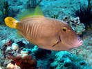 Barred Filefish - Filefish<br>(<i>Cantherhines dumerili</i>)