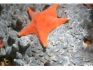 Bat Star - Echinoderms<br>(<i>Asterina miniata</i>)