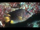 Beaubrummel - Damselfish - Jaqueta<br>(<i>Stegastes flavilatus</i>)