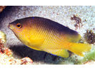 Beaugregory - Damselfish<br>(<i>Stegastes leucostictus</i>)