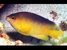 Beaugregory - Damselfish<br>(<i>Stegastes leucostictus</i>)