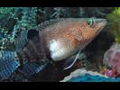 Belted Sandfish - Seabass<br>(<i>Serranus subligarius</i>)