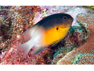 Bicolor Damselfish - Damselfish<br>(<i>Stegastes partitus</i>)
