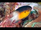Bicolor Damselfish - Damselfish<br>(<i>Stegastes partitus</i>)