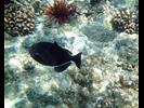 Black Durgon - Triggerfish<br>(<i>Melichthys niger</i>)