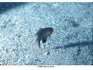 Blackfin Chromis - Damselfish<br>(<i>Chromis vanderbilti</i>)