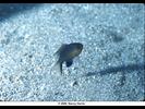 Blackfin Chromis - Damselfish<br>(<i>Chromis vanderbilti</i>)