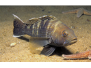 Black Sea Bass - Seabass<br>(<i>Centropristis striata</i>)