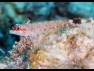 Lizard Triplefin - Triplefins<br>(<i>Crocodilichthys gracilis</i>)
