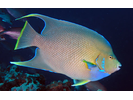 Blue Angelfish - Angelfish<br>(<i>Holacanthus bermudensis</i>)