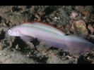 Blue Dartfish (Blue Goby) - Dartfish<br>(<i>Ptereleotris calliurus</i>)