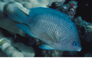 Blue-eye Damselfish - Damselfish<br>(<i>Plectroglyphidodon johnstonianus</i>)