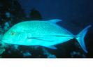 Bluefin Trevally - Jack <br>(<i>Caranx melampygus</i>)