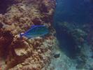 Bluefin Trevally - Jack<br>(<i>Caranx melampygus</i>)