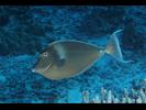 Bluespine Unicornfish - Surgeonfish<br>(<i>Naso unicornis</i>)