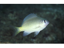 Brighteye Damselfish - Damselfish<br>(<i>Plectroglyphidodon imparipennis</i>)