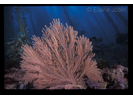 Brown Gorgonian - Cnidarians<br>(<i>Muricea fruticosa</i>)