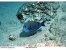 Brown Surgeonfish/Lavender Surgeonfish - Surgeonfish<br>(<i>Acanthurus nigrofuscus</i>)